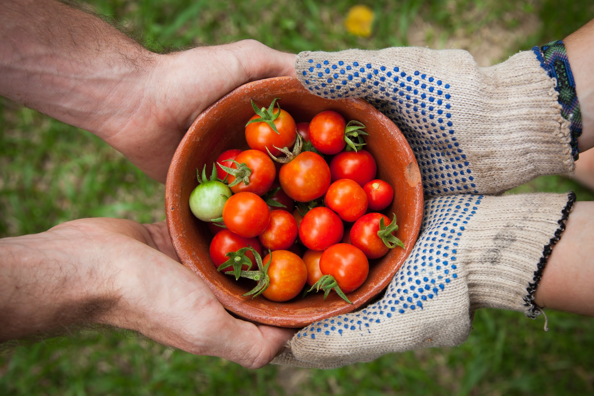Harvesting and storing tomatoes
